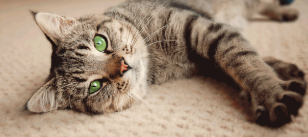 carpet cleaning pet odour stains